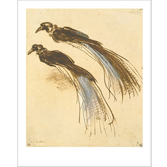 """Two Studies of a Bird of Paradise"" Poster"